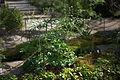 Anemone rivularis 04.jpg