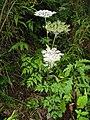 Angelica polymorpha 1.JPG
