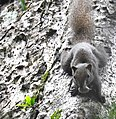 Animal Red-bellied squirrel Callosciurus erythraeus 02.jpg
