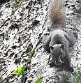 Animal Red-bellied squirrel Callosciurus erythraeus 02.jpg