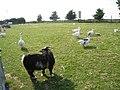 Animals at Iwade Farm Shop, Iwade, Kent - geograph.org.uk - 973204.jpg