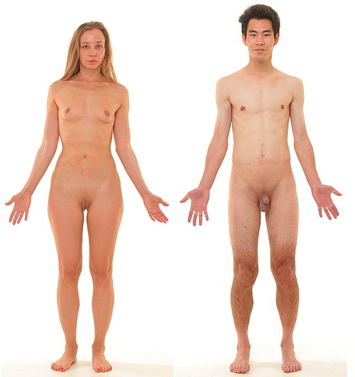 Anterior view of human female and male, without labels