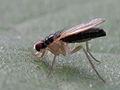 Anthomyza sp. (Diptera- Anthomyzidae) (9684404445).jpg