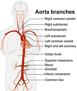aorta - wikipedia, Human Body