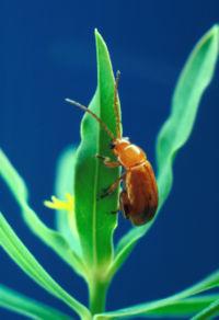 Aphthona flava flea beetle.jpg