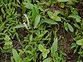 Aponogeton satarensis Sundararagh., A.R.Kulk. & S.R.Yadav (5872579874).jpg