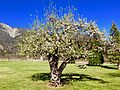 Apple Blossom Time at Oak Glen, CA 3-16 (26094251756).jpg