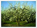 April Season Apple Blossom - Master Landscape Rhine Valley 2013 - panoramio (1).jpg