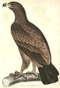 Aquila rapax vindhiana 2 Hardwicke.jpg