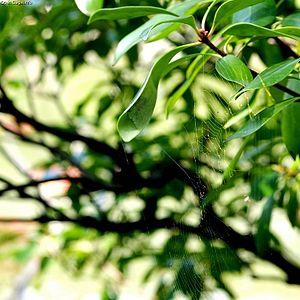 Araneus mitificus - Araneus mitificus resting in its sanctuary in Chūō-ku, Kobe, Japan. Note the missing segment on its web.