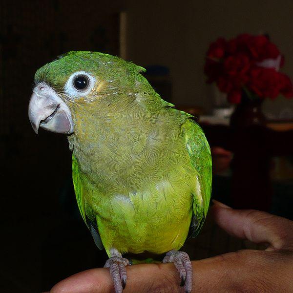 File:Aratinga pertinax (juvenile) -Panama-8a-3c.JPG