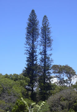New Dating Sites >> Araucaria - Simple English Wikipedia, the free encyclopedia