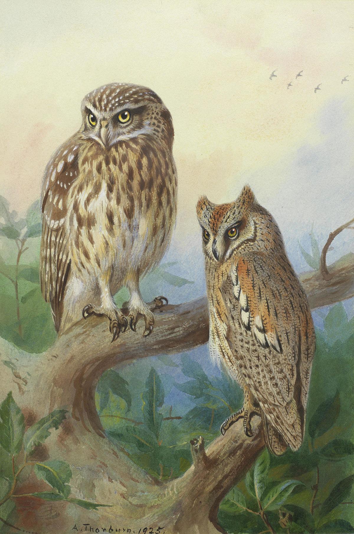 Archibald Thorburn Little Owl and Scops Owl.jpg