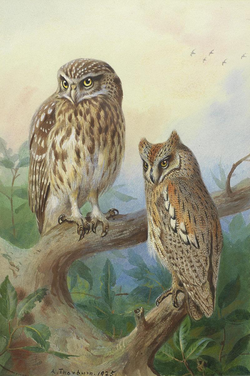 Арчибальд Торберн Маленькая сова и сова Scops.jpg