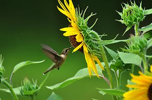 Nectarivore - A female ruby-throated hummingbird (Archilochus colubris) feeds on nectar from a sunflower (Helianthus annuus)