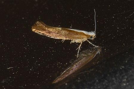 Argyresthia albistria 01a(js), Lodz (Poland).jpg