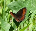 Arran Brown. Erebia ligea (16016852550).jpg