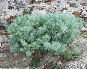 Artemisia arborescens - Image: Artemisia arborescens 12052004 Var