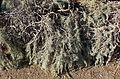 Artemisia californica 'Canyon Grey' kz2.jpg