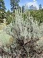 Artemisia tridentata kz14.jpg