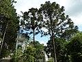Arujá, Araucárias com pinhão em São Paulo - panoramio.jpg