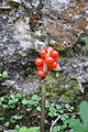 Arum maculatum Cuckoo Pint ნიუკა.jpg