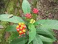 Asclepias curassavica-yercaud-salem-India.JPG