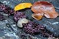 Ascocoryne sarcoides (Purple Jellydisc, Jelly Drops, D= Fleischroter Gallertbecherling, Violetter Gallertbecherling, F= Ascocoryne sarcoïde, NL= Paarse knoopzwam) at a Beech stump at Park Sonsbeek Arnhem - panoramio.jpg