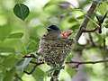 Asian Paradise Flycatcher- Female at nest in Himachal I IMG 3022.jpg