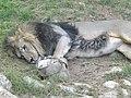 Asiatic Lion 08.jpg