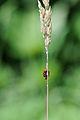 Asiatische Marienkäfer, Harmonia axyridis auf einem Grashalm 1.JPG