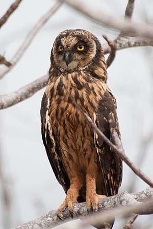 Short-eared owl - On the Galapagos Islands, Ecuador