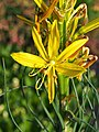 Asphodeline lutea Złotnica żółta 2019-05-26 05.jpg