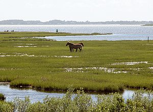 Feral horse - Feral Chincoteague ponies on Assateague Island, Virginia