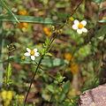 Asteraceae sp.-IMG 6914.JPG