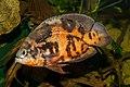 Astronotus ocellatus - Karlsruhe Zoo 01.jpg