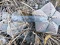 Astrophytum myriostigma (5699292507).jpg