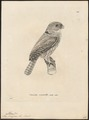 Athene ferruginea - 1700-1880 - Print - Iconographia Zoologica - Special Collections University of Amsterdam - UBA01 IZ18400049.tif