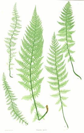 Ботаническая иллюстрация из книги the