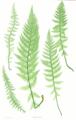 Athyrium distentifolium Moore7.png