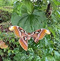 Attacus atlas with a wing gone 08.JPG
