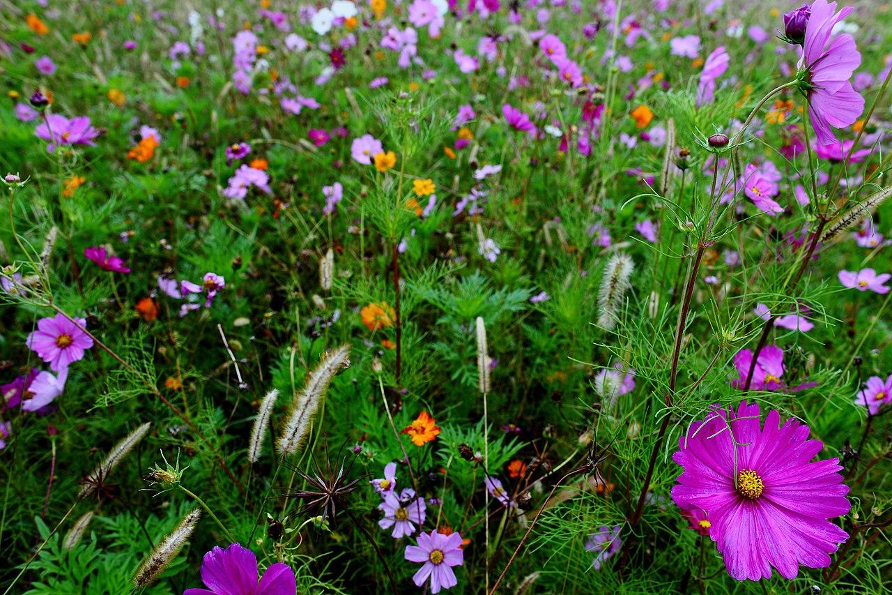fileautumnflowerfieldlargepurpleflower  virginia, Beautiful flower