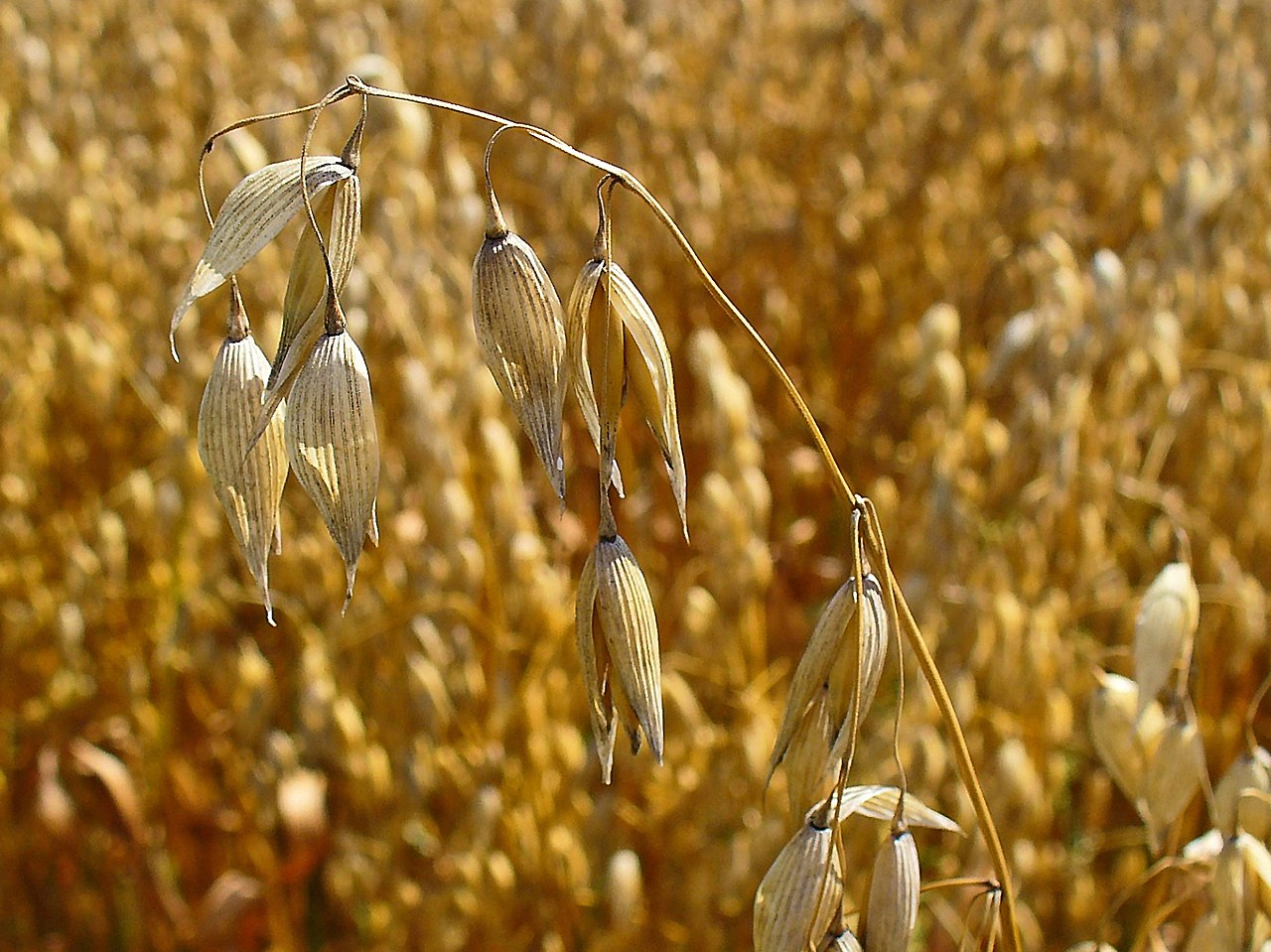 Vete råg korn