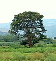 Búcaro - Písamo (Erythrina fusca) - Flickr - Alejandro Bayer (5).jpg