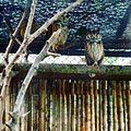 Búhos del Zoológico de Cali.jpg