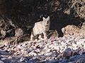 BOBCAT (Lynx rufus) (1-27-2017) pena blanca canyon, santa cruz co, az -01 (32417290222).jpg