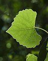 Backlit leaf (8983239575).jpg