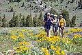 Backpackers hike through a group of arrowleaf balsamroot (42440956021).jpg