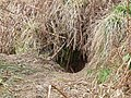 Badger sett (detail). - geograph.org.uk - 1213696.jpg