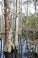 Bald Cypress Trail First Landing State Park-trees-3 (32364290404).jpg
